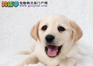 自家繁殖纯种青岛拉布拉多犬转让证书齐全