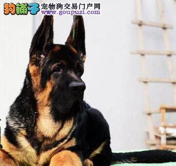 国外引进纯德国牧羊犬,可办理血统证书,提供养护指导