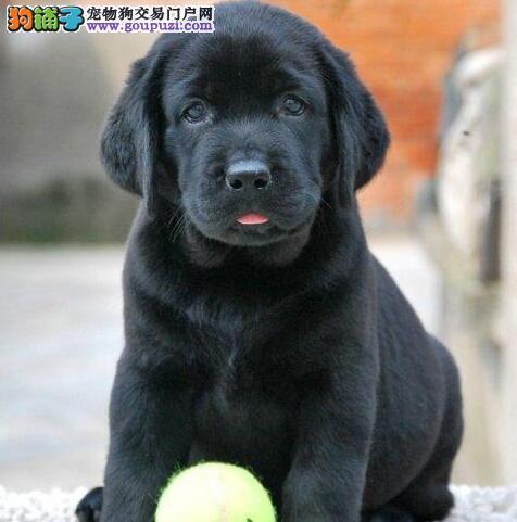 转让纯血统拉布拉多犬 乌鲁木齐正规狗场专业繁殖