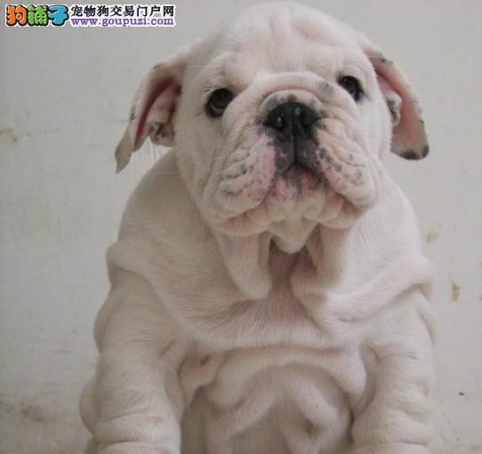 广州家养纯种斗牛犬出售花色好品种齐全疫苗已做
