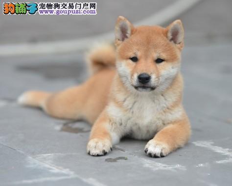 国际注册犬舍 出售极品赛级柴犬幼犬微信选狗直接视频