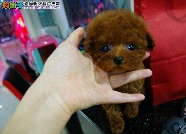 深圳哪个狗场有繁殖茶杯犬纯种茶杯犬多少钱