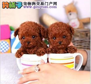 广州茶杯犬价格 广州哪里有卖茶杯犬