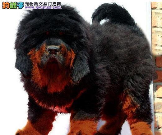 促销价格出售原生态藏獒幼犬 深圳附近欢迎上门购买