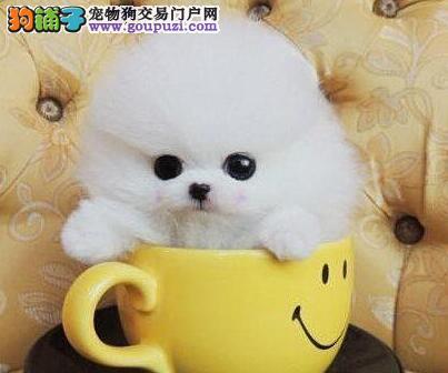 吐鲁番自家高品质俊介犬出售疫苗驱虫已做小体型博美犬