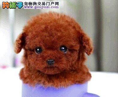 顶级品质韩系血统泰迪犬深圳狗场低价出售 可上门挑选