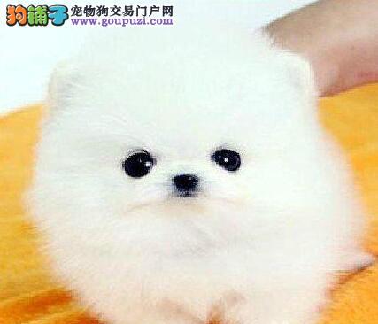 国际注册犬舍 出售极品赛级博美犬幼犬签订三包合同