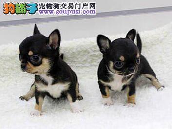 CKU联保免费服务犬业出售纯种健康大眼睛吉娃娃幼犬