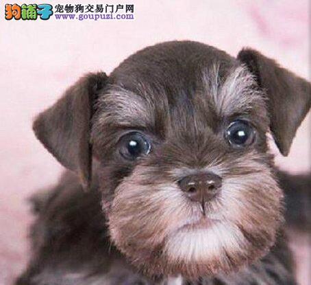专业基地繁殖雪纳瑞幼犬疫苗齐保健康保纯种质保三年