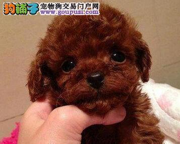 极品纯种韩系南京泰迪犬出售 购买可赠送狗笼子