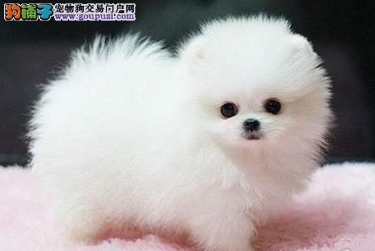 体型较小身体健康的徐州博美犬找新家 可随时视频看狗