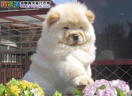 天津专业的松狮犬舍终身保健康办理血统证书