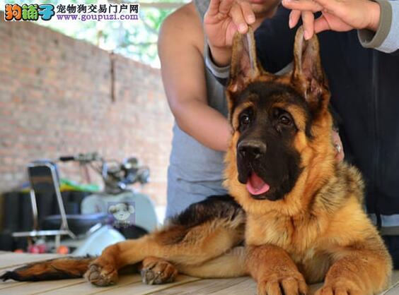 骨骼健硕品质极佳的德国牧羊犬热销中 徐州朋友上门选