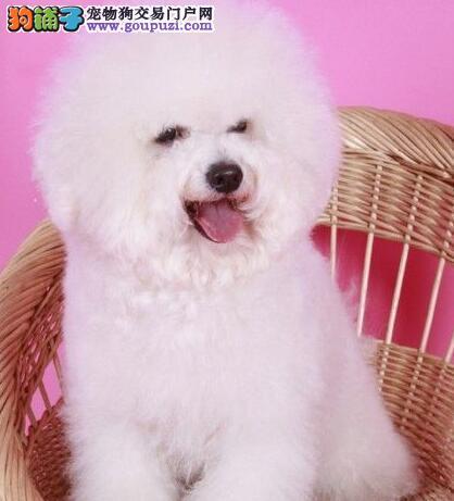 出售棉花糖品相双血统的比熊犬 徐州市内免费送货上门