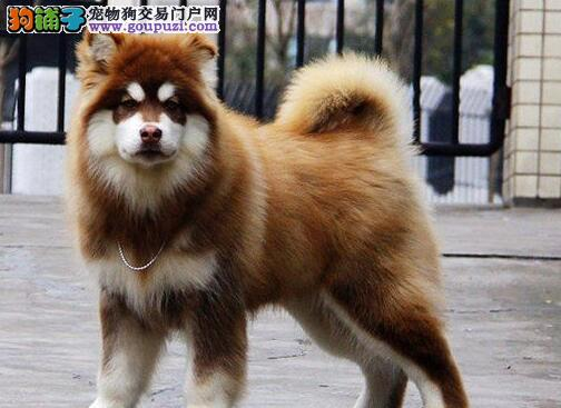 十字脸大毛量的武汉阿拉斯加犬找新主人 可办理血统证