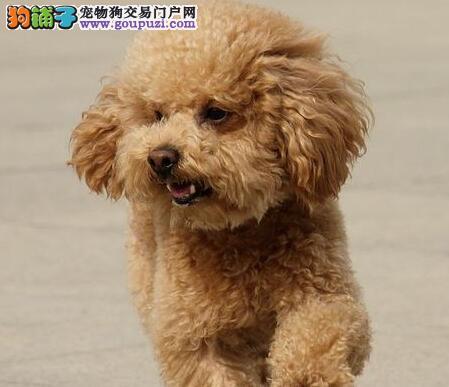 长沙自家繁殖的纯种贵宾犬找主人质量三包完美售后