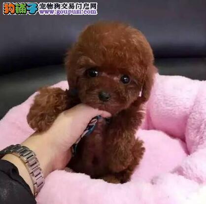 转让多种颜色多种血系的徐州泰迪犬 疫苗驱虫齐全