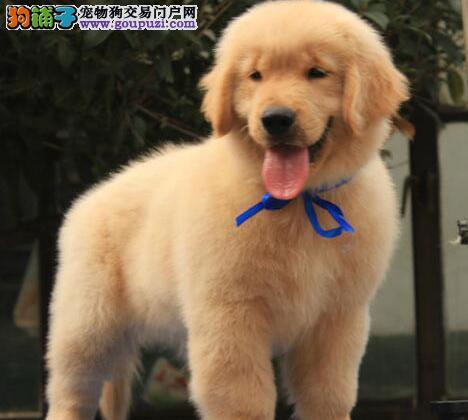 大头版大骨架的徐州金毛犬找新主人 爱狗人士上门看狗