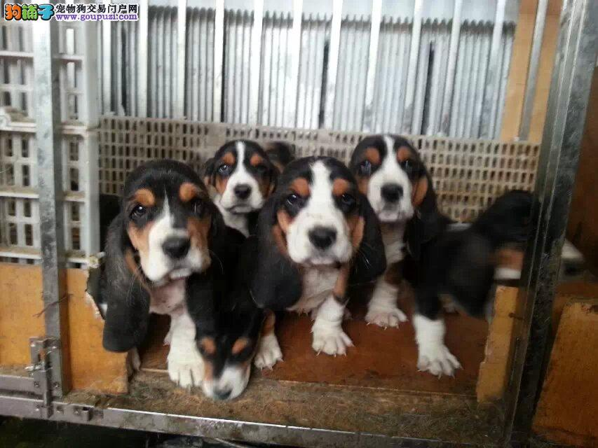 巴吉度 纯种健康专业狗场繁殖 签协议