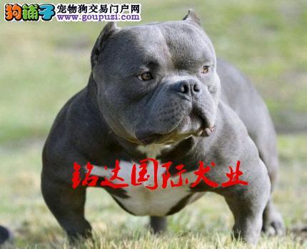恶霸犬、美国恶霸犬、专业繁殖美国恶霸犬、保纯种