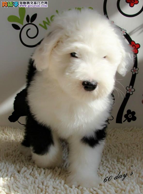 成都出售极品古代牧羊犬幼犬完美品相欢迎您的指导