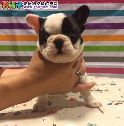 CKU犬舍认证出售高品质衡阳法国斗牛犬可以送货上门