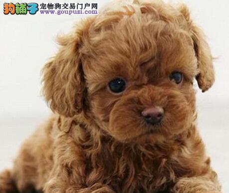大型专业培育泰迪犬幼犬包健康质量三包完美售后