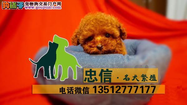 韩国血统精品茶杯贵宾泰迪犬,可签协议,免费送货上门