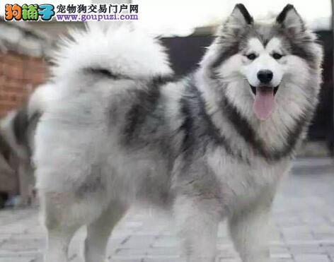 正规犬舍直销双十字哈尔滨阿拉斯加雪橇犬 已做疫苗