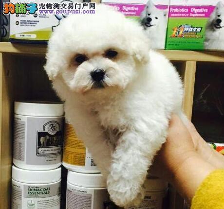 纯种卷毛青岛比熊犬特价出售 可办理纯种血统证书