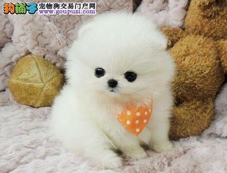 哈多利版博美犬犬舍直销中 欢迎来深圳购买价格优惠