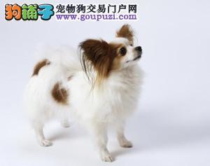 正规犬舍繁殖、诚信交易、纯种蝴蝶犬、可签协议