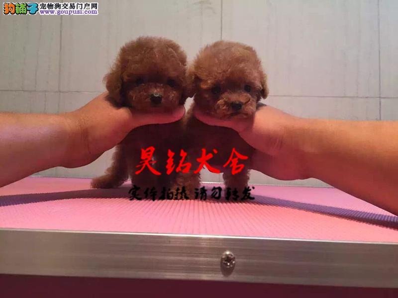 正规犬舍繁殖、诚信交易、纯种茶杯犬、可签协议