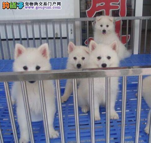 正规犬舍繁殖、诚信交易、纯种银狐犬、可签协议