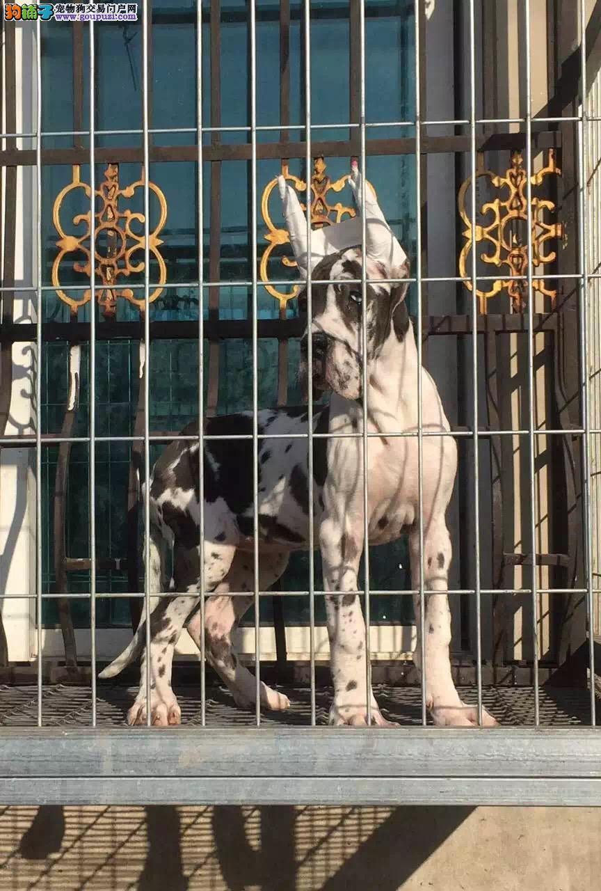 大丹犬泉州CKU认证犬舍自繁自销可以送货上门
