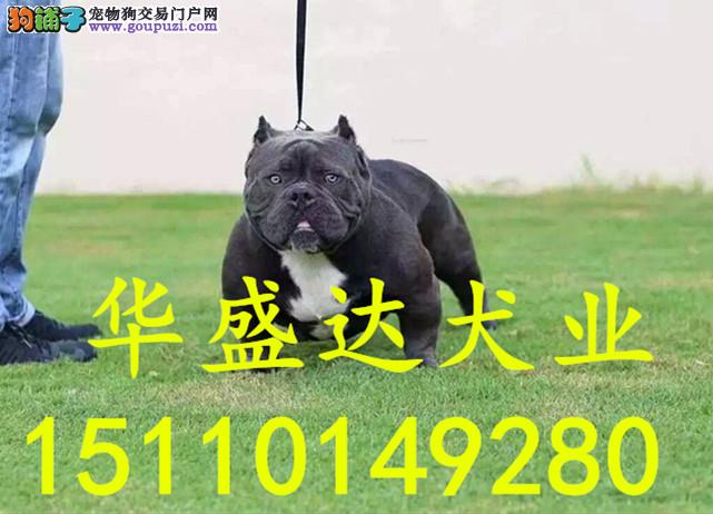 北京最大的恶霸犬基地 完美售后 质量三包 可送货上门