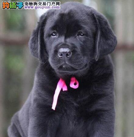 养殖场直销纯种拉布拉多犬签协议保证健康