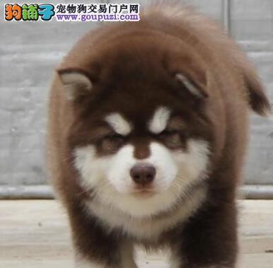 养殖场转让纯种深圳阿拉斯加雪橇犬签合同