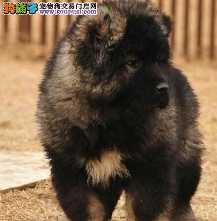转让顶级血统天津高加索犬可办理血统证书