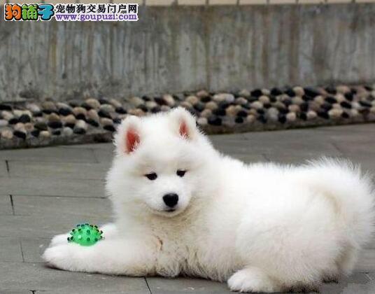杭州犬舍促销高品质萨摩耶售后有保证签协议