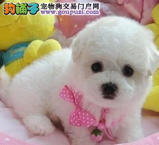 犬舍直销赛级品质天津比熊犬品相完美可爱至极