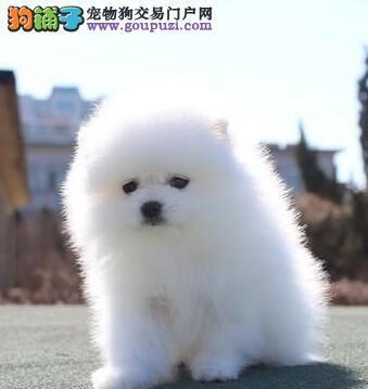 深圳哪里有卖博美狗深圳哪里买博美最好 博美犬价格