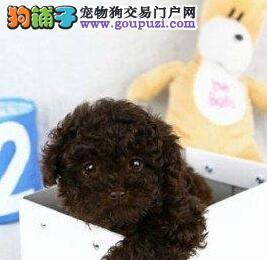 上海自家繁殖贵宾犬出售公母都有喜欢来电咨询