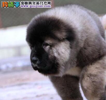 犬舍转让高品质吐鲁番高加索犬公母都有带血统证书