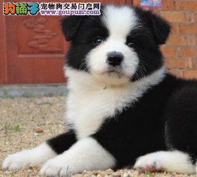 自家繁殖边境牧羊犬低价出售天津市区可上门选购