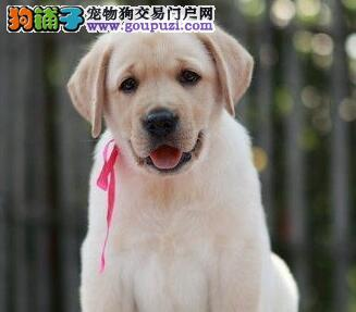 顶级优秀南昌拉布拉多犬特价出售 冠军级血统毛色佳