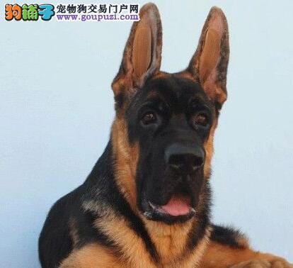 天津狗场促销顶级品质德国牧羊犬售后有保证
