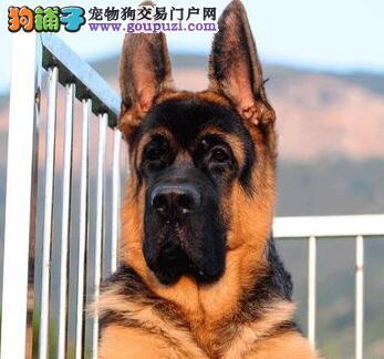 沧州家养赛级德国牧羊犬宝宝品质纯正血统证书芯片齐全