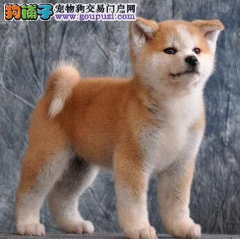 热销多只优秀的纯种秋田犬幼犬请您放心选购