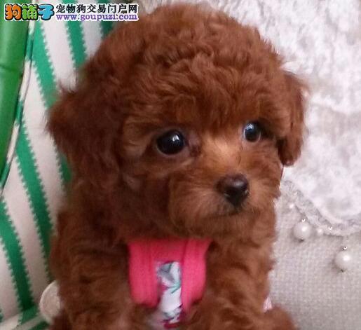 天津实体店出售精品泰迪犬多种颜色可挑选